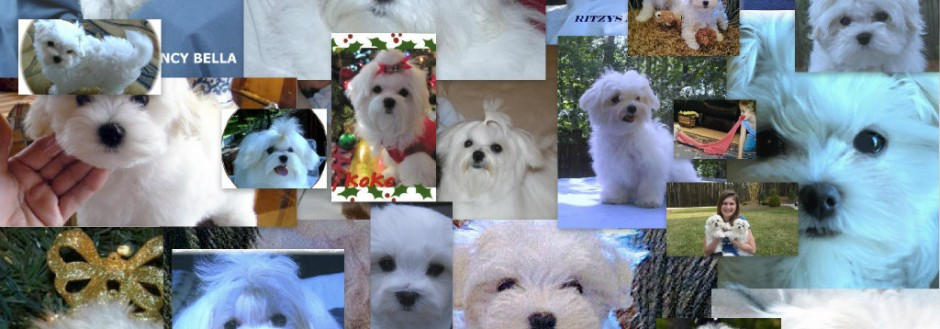 Ritzy's Champion Maltese Puppies Gallery