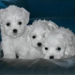 Three Maltese Puppies