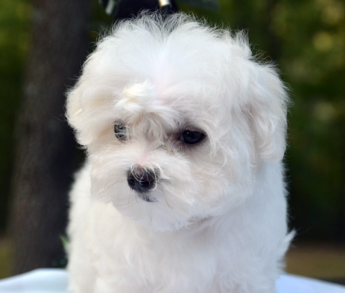 maltese puppy for sale in tn tn chion maltese breeder offers puppies for sale 1632