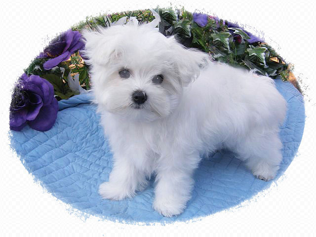 maltese puppy for sale in tn tn chion maltese breeder offers puppies for sale 9773