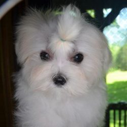 Male Maltese Puppy