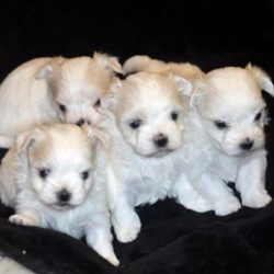 Male Maltese Puppies