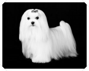 Male Maltese Dog